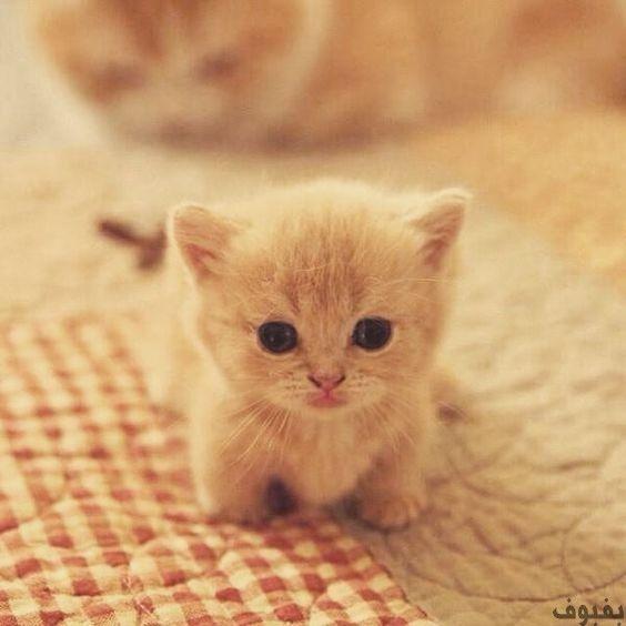 صور قطط صغيرة أجمل صور القطط الصغيرة في غاية الجمال بفبوف Cute Cats Cute Animals Cute Cats And Kittens