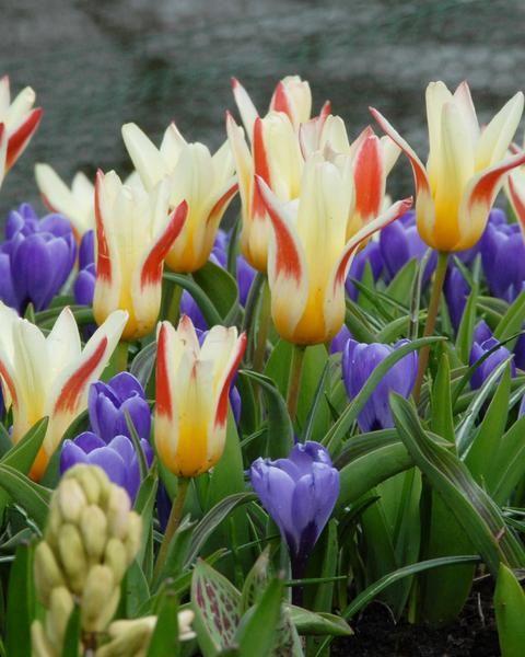 Flower Bulbsjohann Strauss Bulbs Uk 1 Tulips Tulip Bulbs For Sale Tulip Bulbs