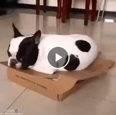 Cachorro tenta esconder gatinho.
