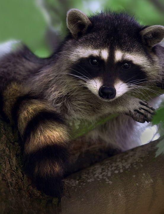 Raccoon <img src=