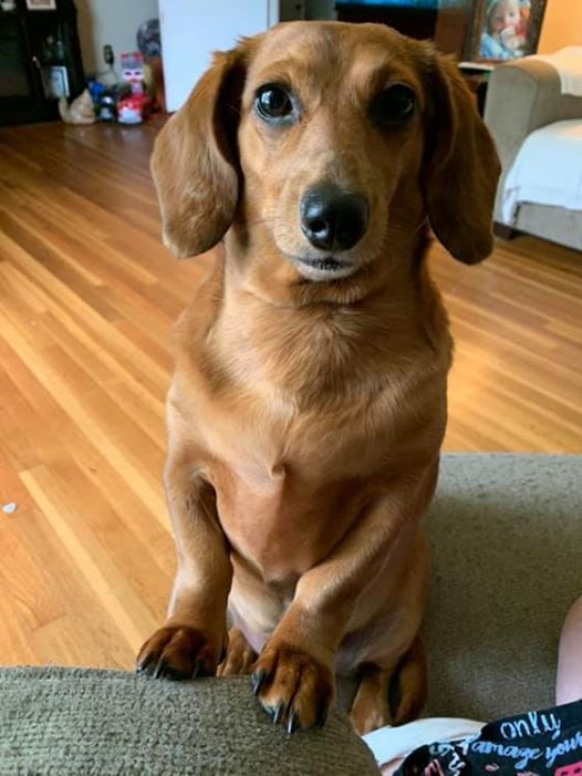 18 Funny Moments Showing That Dachshunds Are The Cutest Dogs 6 In