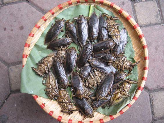 cà cuống – một loại côn trùng có hương vị đặc biệt