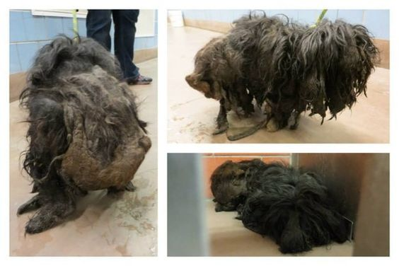 Brave Mistreated Dog Now Looks Fantastic After Having Two Pounds