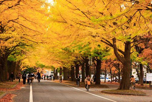 Gingko tree ~ Saporo
