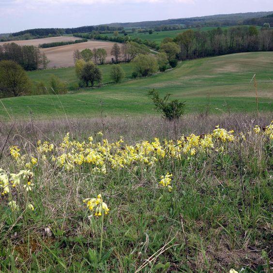 Ohne Mahd oder Beweidung würden sich diese Hügel der Uckermark bewalden. Die Magerrasen mit dem Frühlingsaspekt der Echten Schlüsselblume (Primula veris) gingen verloren.