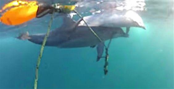 JornalQ.com - INÉDITO - Golfinho faz tudo para salvar a sua cria