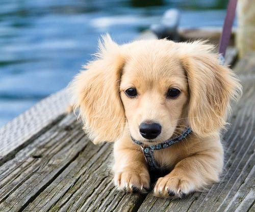 English Cream long haired dachshund puppy