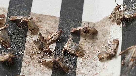 Lebensmittelmotten Bekampfen Diese Hausmittel Helfen Sofort In 2020 Lebensmittelmotten Hausmittel Motten In Der Kuche