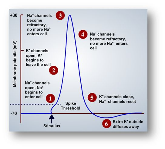 membrane potential as time passes in an action potential