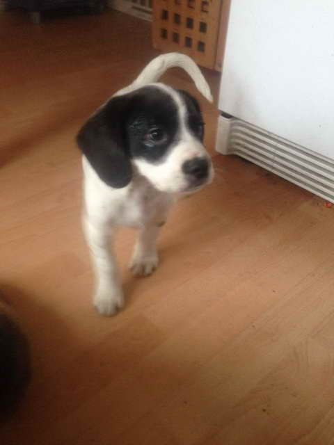 Black And White Beagle For Sale Black And White Beagle Beagles