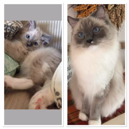 What Are The Different Colors Of Ragdoll Cats Ragdoll Cat Colors Cat Colors Ragdoll Cat