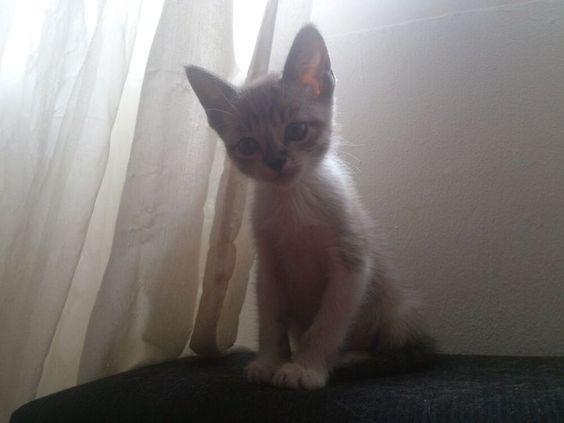 DULCE precioso gatito de 2 meses y medio