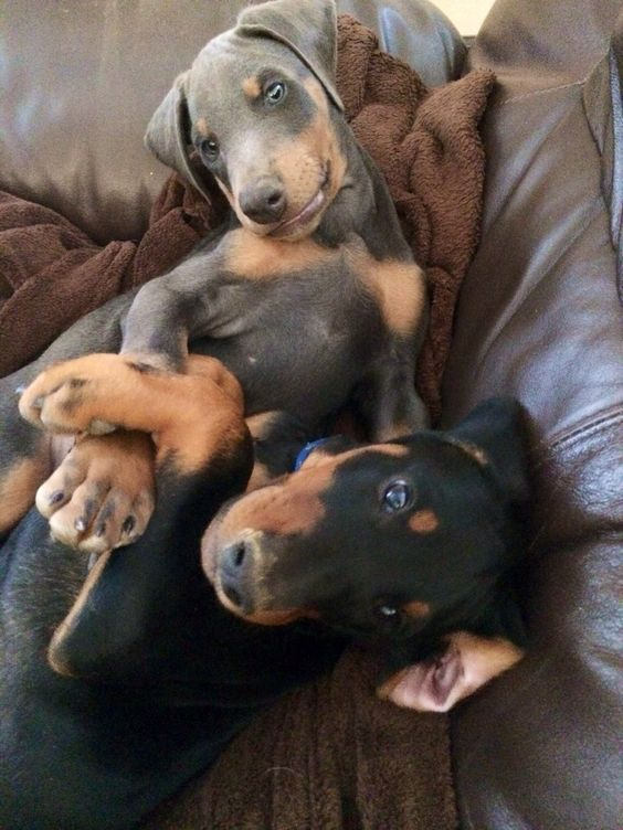 Brothers..one black & tan and one blue...love #dobes #Doberman #puppy