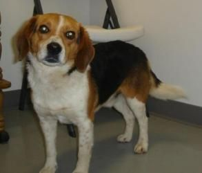 Jack is an #adoptable Beagle Dog in #Hartford #KENTUCKY - Please contact Gloria ( 4ocanimals@ohiocounty.net ) for more information about this pet. Jack was brought to the shelter as a stray and no one ever cal...