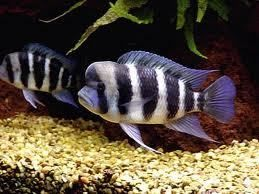 5 x frontosa cichlids 2 TO 3CM Live Tropical Fish at Aquarist Classifieds