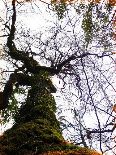 Velha árvore.