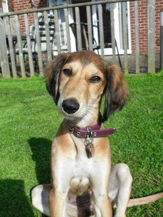 Saluki Puppy: Everything about your Saluki