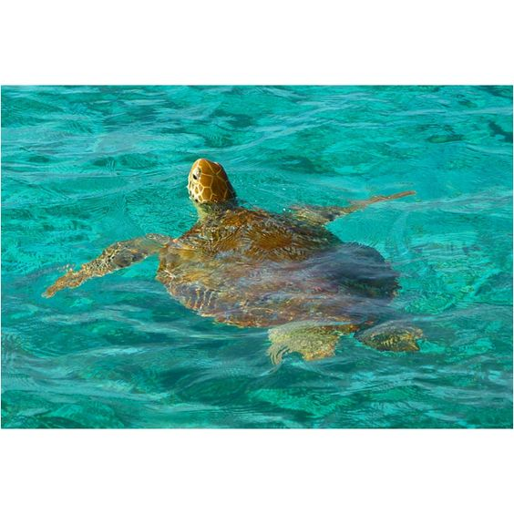 Sailing the Tobago Cays. Five uninhibited islands protected as a Marine Park located in the Grenadines, West Indies (Caribbean). If this isn't on your Bucket List, add it...NOW!: Turtles Tortoises, Ninja Turtles, Sea Turtles, Bucket Lists, West Indies, Travel Vacation