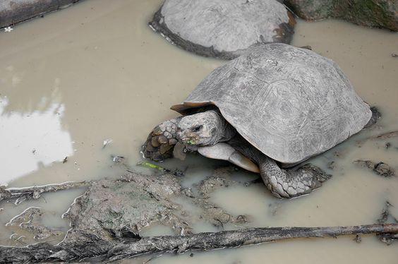 La Batagur affinis edwardmolli, ou tortue royale, l'une des tortues d'eau douce les plus rares du monde, se trouve dans les rivières malaysiennes et  indonésiennes. Mais depuis quelques décennies, elle voit sa population disparaitre de manière inquiétante.