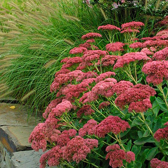 Sedum 'Autumn Joy' -- This plant is as dependable and adaptable as they come. Its flowers bloom from August into November; they open pink and mature to a copper befitting of autumn. It is 2 feet tall and wide, with succulent stems and leaves. 'Autumn Joy' looks great with ornamental grasses.