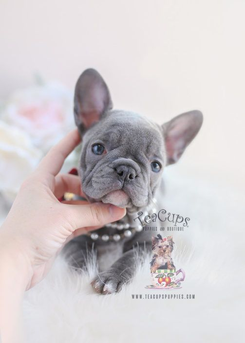 Lilac French Bulldog Puppy For Sale 096 Teacup Puppies Teacup