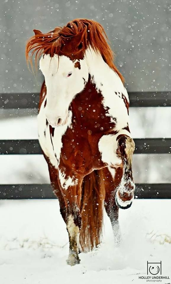 Paint horse pawing in the snow. Strikingly beautif…