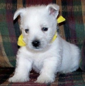 Adorable little westie puppy