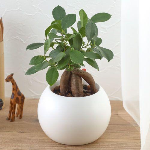お手入れかんたん観葉植物「人参ガジュマル(ホワイト)」|日比谷花壇|フラワーギフト通販