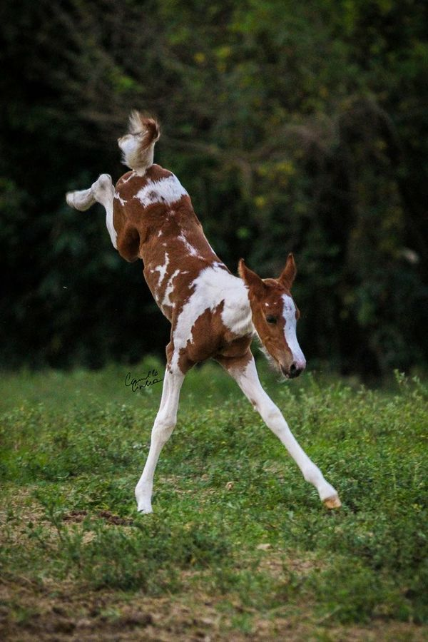 Excited little foal