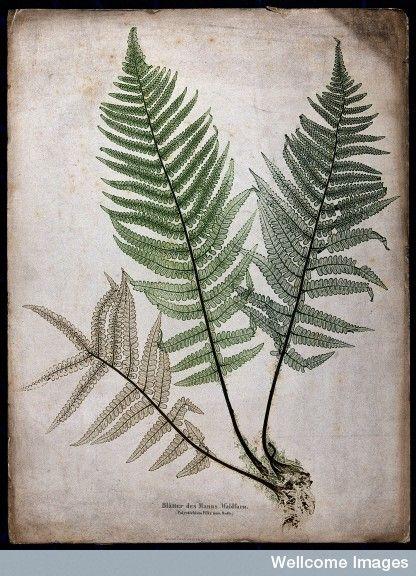 The male fern (Dryop