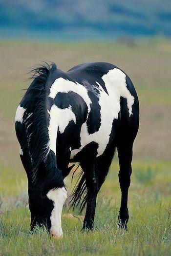Mustang black white pinto. Love that dark black. G…