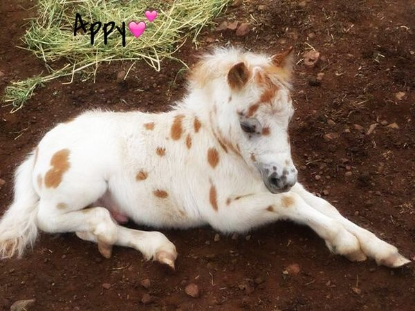 Appaloosa foal as sweet, fuzzy and cuddly as can b…