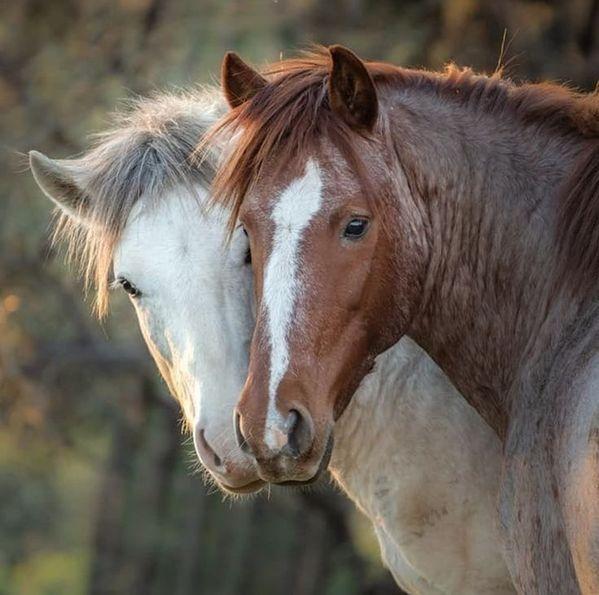 Horse. Equin…