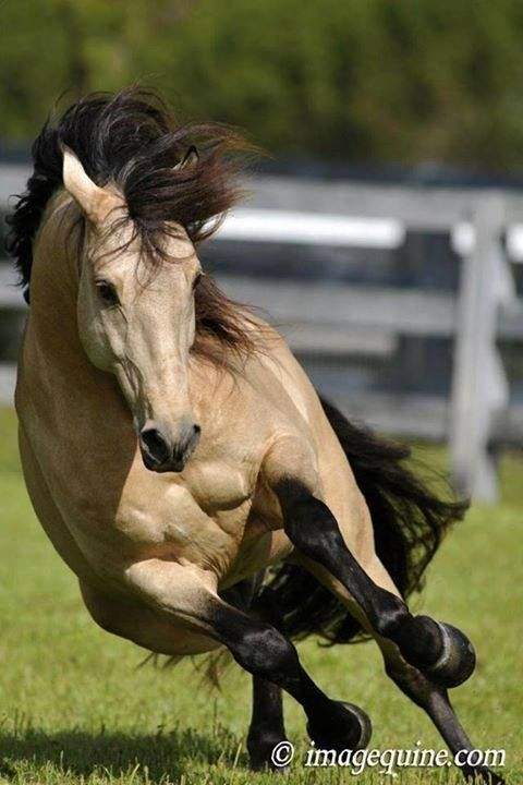Buckskin!  Beautiful Horse!  :)