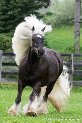 Such beautiful hair on a horse!  :)