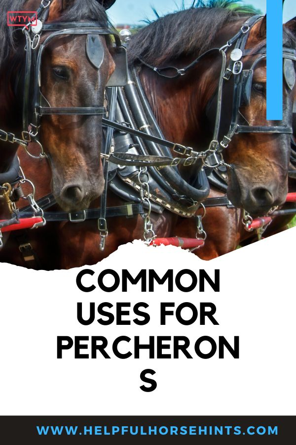 Percherons h…