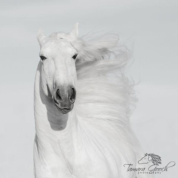Amazing Lusitano stallion