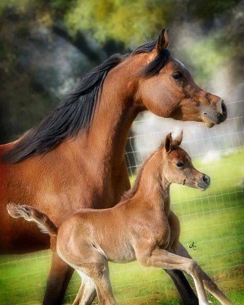 Arabian Horse Arabian Horse Show - Western Competi…