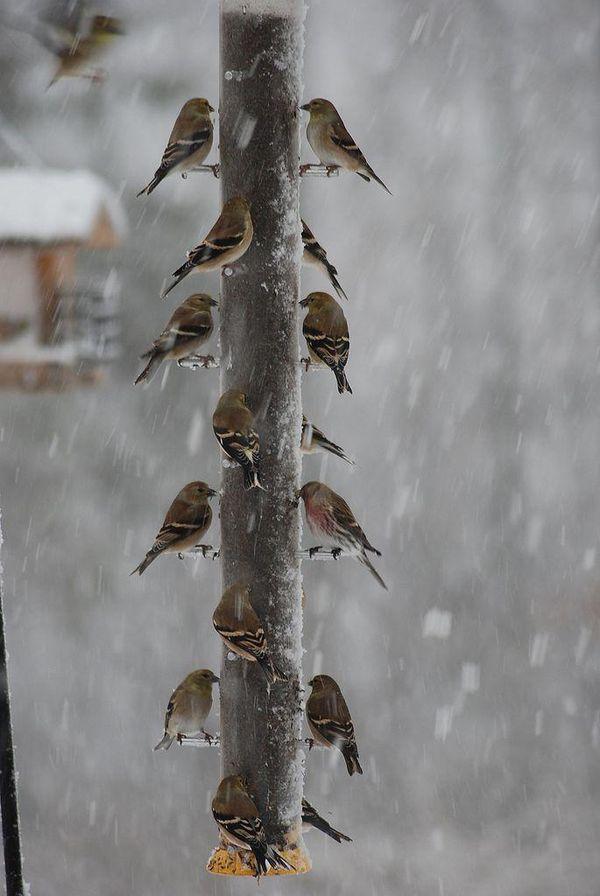feeding frenzy in the snow