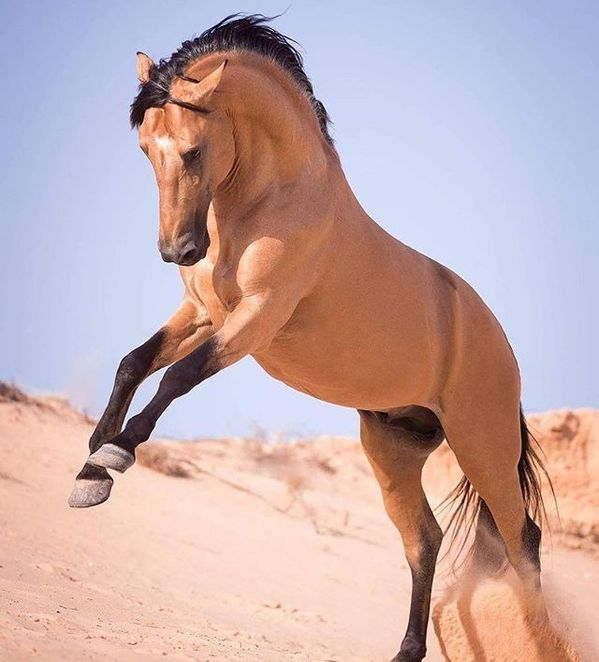 Beautiful Berber stallion -⠀ Credit to @claudia_ra…