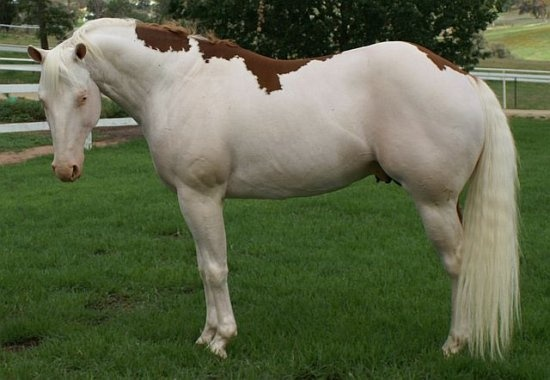 Gorgeous homozygous splash
