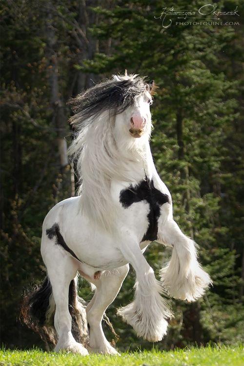 Gypsy Cob - Equine Photography - Katarzyna Okrzesi…