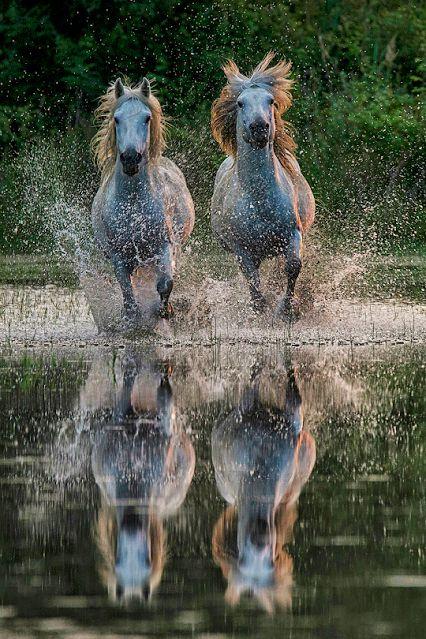 Horses having a summertime splash running in the w…