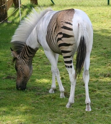 father is a zebra mother is a horse