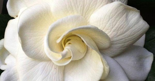 My absolutely favorite flower! - Gardenia Jasminoides