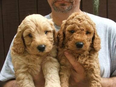 Not As Cute As My Goldendoodle Hunter But The One On The Left Is The Right Color Doodle Puppy Goldendoodle Breeders Labradoodle Goldendoodle