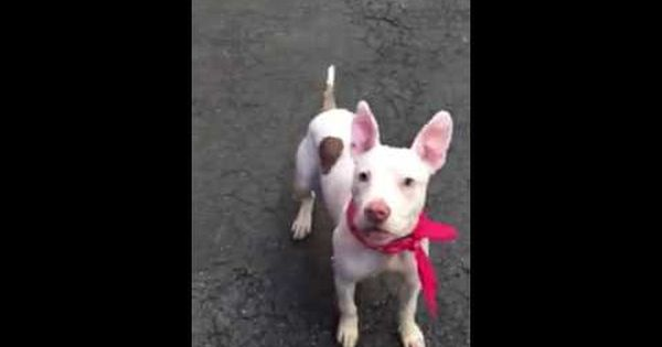 Pin By Julie Morton On Adoptable Pets Pitbulls Coco Breeds