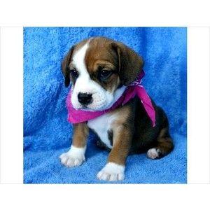 Beabull Puppy Beagle And Bulldog Mix Super Cute Cute Animals