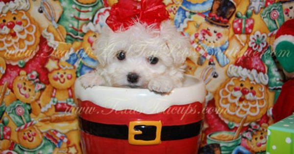 Maltese Puppy For Sale In Texas Maltese Puppies For Sale Toy Dog Breeds Maltese Puppy