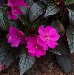 Impatiens Harmony Violet Impatiens Flowers Plants Flower Border
